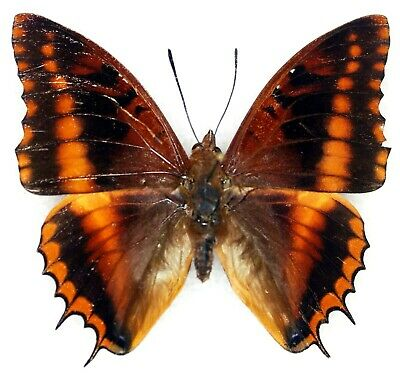 CHARAXES NUMENES CHARAXINAE LEPIDOPTERA NYMPHALIDAE R.C.A. male