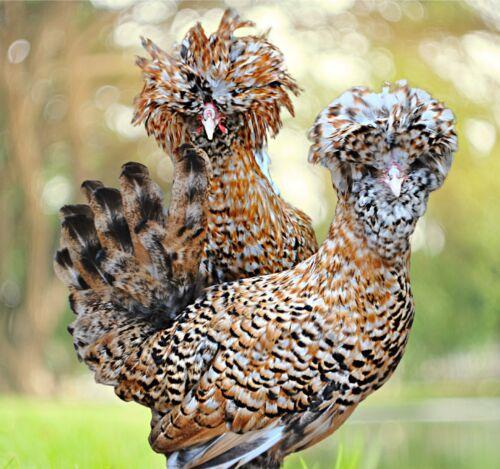 6 Candy Corn Polish LF Chicken Hatching Eggs Rare Breed NPIP B&E Farm