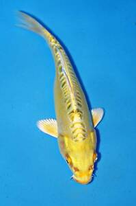 Koi fish for sale fish gumtree australia free local for Expensive koi for sale