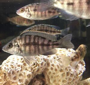poissons,cichlids , pour aquarium l'eau douce