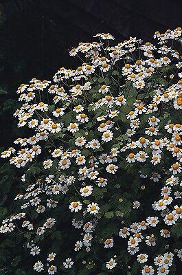 Suffolk Herbes-Organic coriandre coriandre 75 graines