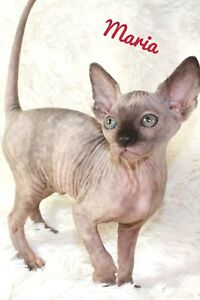 GetNaked Sphynx has available kittens