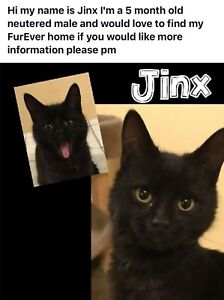 Jinx wants to be your kitten