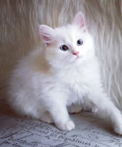Female ragdoll white blue eyes ready to go