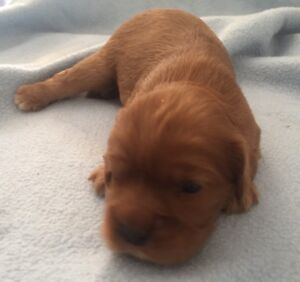 PUREBRED KING CHARLES CAVALIER PUPPIES