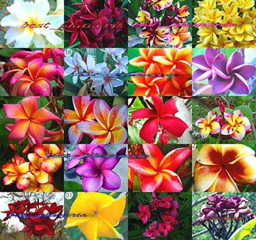 Plumeria Seeds/Flowers/Mixed 1000 Seeds Rare!!!