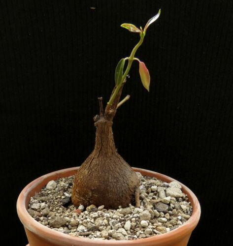 Petopentia natalensis,Caudex,Euphorbia,Bulb
