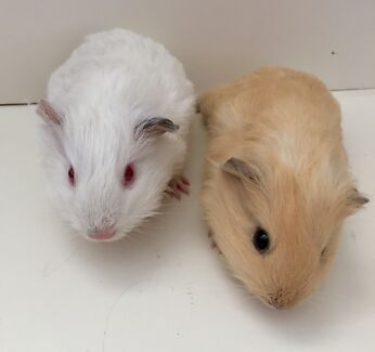 Two female Guinea Pigs for sale