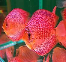 Penang Eruption Discus Broadbeach Waters Gold Coast City Preview