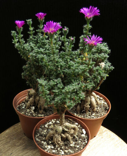 Trichodiadema densum,Caudex,Euphorbia,Bulb