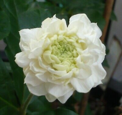 Arabian Jasmine Plant