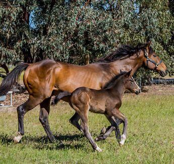 gypsy cob | Horses & Ponies | Gumtree Australia Free Local