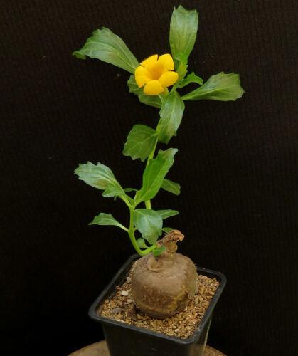 Pterodiscus augustifolius 4cm,Caudex,Euphorbia,Bulb
