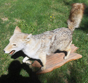 COYOTE FULL BODY MOUNT RUNNING BRUSH WOLF TAXIDERMY RED GRAY BLONDE
