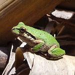festivefrog