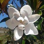Magnolia Traders