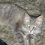 """Young Male Cat - Tabby - Grey: """"Logan"""""""