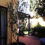 Mature Olive Tree in Barrel pot East Fremantle Fremantle Area Preview