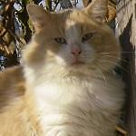 "Adult Female Cat - Domestic Long Hair - buff and white: ""Willy"""
