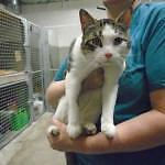 "Adult Male Cat - Domestic Short Hair: ""Prince 16 (PN 90)"""