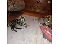 Missing tabby Jerry. Caistor st edmund