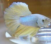 Lemon Yellow Super Delta Betta Fish Gatineau Ottawa / Gatineau Area image 8