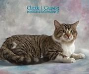 "Young Male Cat - Domestic Short Hair: ""Callahan"""