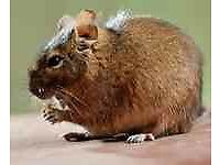 I am looking to buy two degu