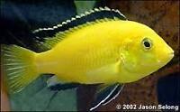 cichlids fish Aquarium
