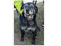 """Senior Female Dog - Labrador Retriever: """"Zoey"""""""
