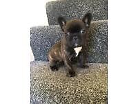 Beautiful French Bull Dog pups for sale