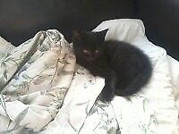 only one grey male kitten left and 4 black we white patchunder the chin al very cute