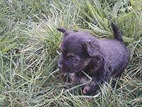 Yourkie x jack boy puppie