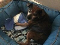 **Handsome Pops - MIN PIN cross is available for adoption****