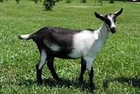 Wanted: Companion Goat
