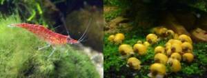 My cherry shrimp swap for your golden mystery/apple snail Calamvale Brisbane South West Preview