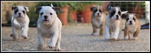 Wanted Miniature Australian Bulldog Cannington Canning Area Preview