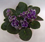 How to Water-Wick African Violets