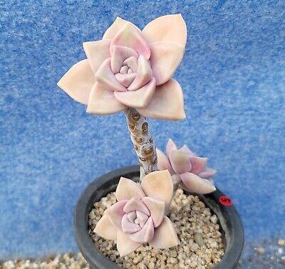 """Graptopetalum """"Purple Delight"""" 3890417 / Sun & Moon Succulent"""