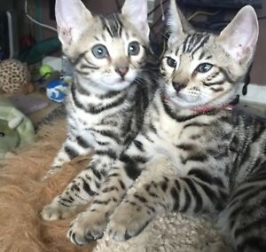 Bengal kittens for-sale