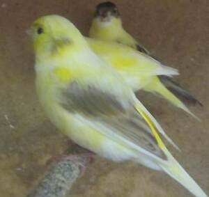 CANARIES....YOUNG AND BREEDERS Harrington Park Camden Area Preview