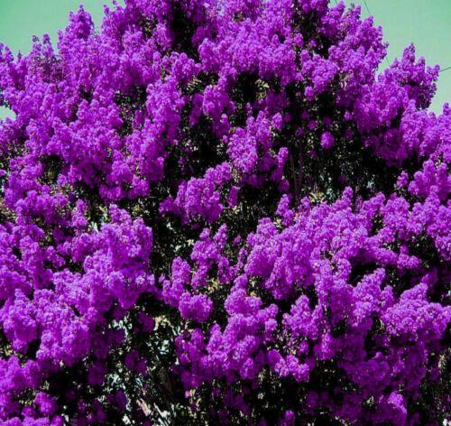 2 LIVE PLANTS DARK PURPLE CREPE MYRTLE BUSHES TREES ROOTED FLOWERING CRAPE