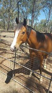 8yo 15h Bay Thoroughbred Gelding + Equipment/Accessories Nanango South Burnett Area Preview
