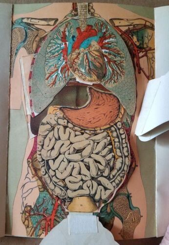Antique THE BODY MANIKIN and POSITION OF VITAL ORGANS 1914 Fold-Out Body Parts