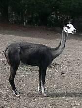 Alpacas for sale *APRIL SPECIALS* Mount Barker Area Preview
