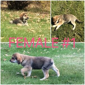 ONLY 1 FEMALE PUPPY STILL AVAILABLE!!