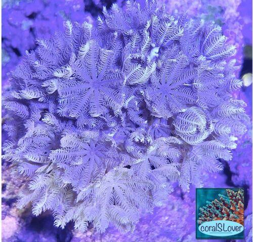 "live coral Red Sea Pulsing Xenia ""coralSLover"""