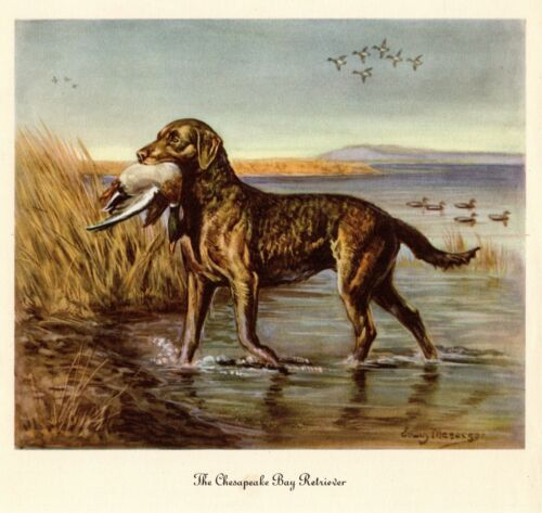 1942 Antique CHESAPEAKE BAY RETRIEVER Art Print Vintage Megargee Print 3868d