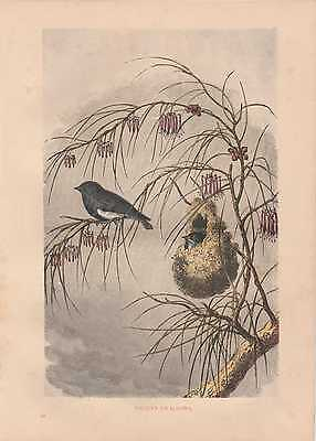 Swallow Swallows Schwalben handkolorierter HOLZLSTICH von 1866