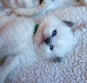 One TICA registered lilac female available